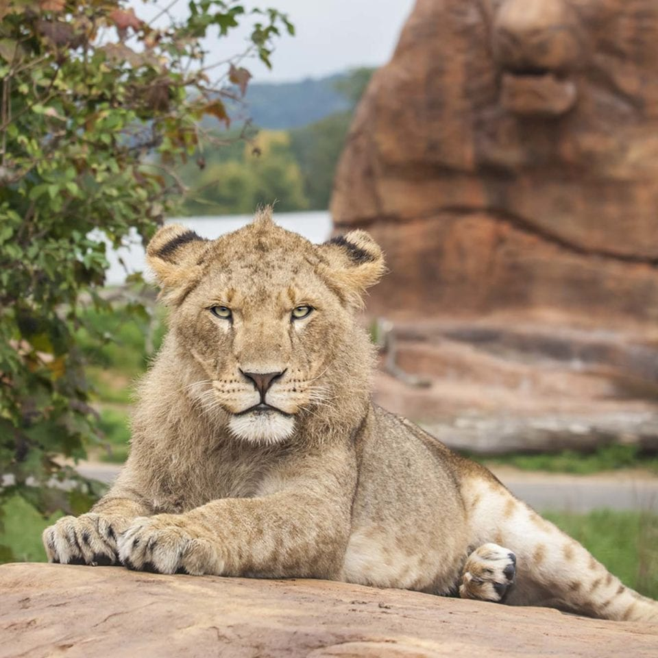Brockencote Stay and Safari Lion